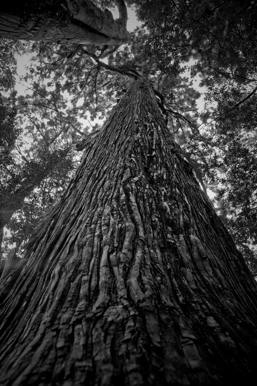 熊野古道の一方杉